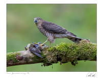 Female Sparrowhawk and Prey
