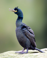 Male Shag, Farne Islands