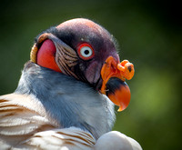 King Vulture Portrait